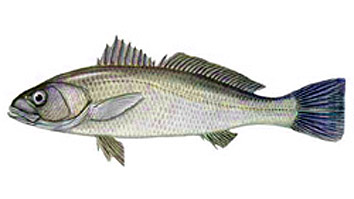 Minimum size for fishing Corvina