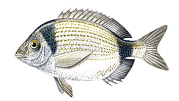 Minimum size for fishing Mojarra