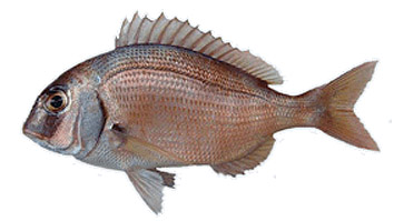Minimum size for fishing Pargo o Bocinegro