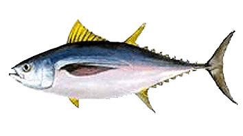 Minimum size for fishing Patudo o Tuna
